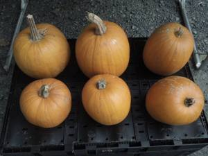 H pumpkins